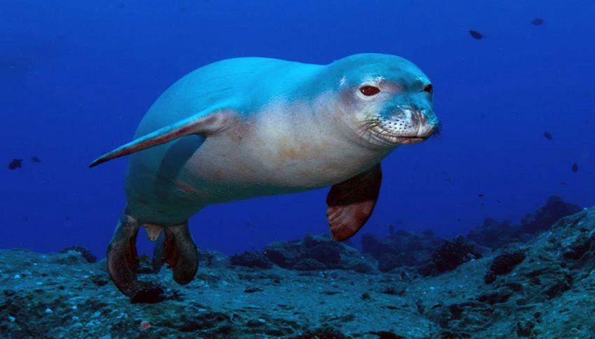 Avvistata la foca monaca nelle acque della Puglia
