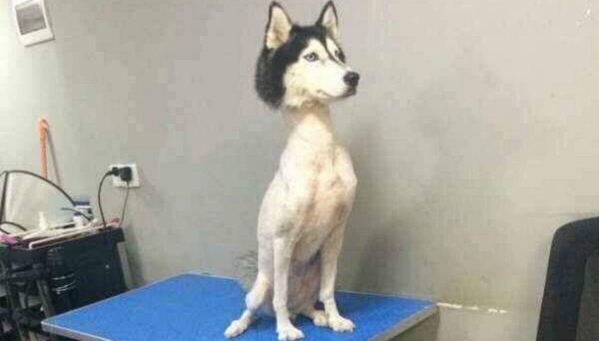 Avete mai visto un Husky senza pelo? Ora sì