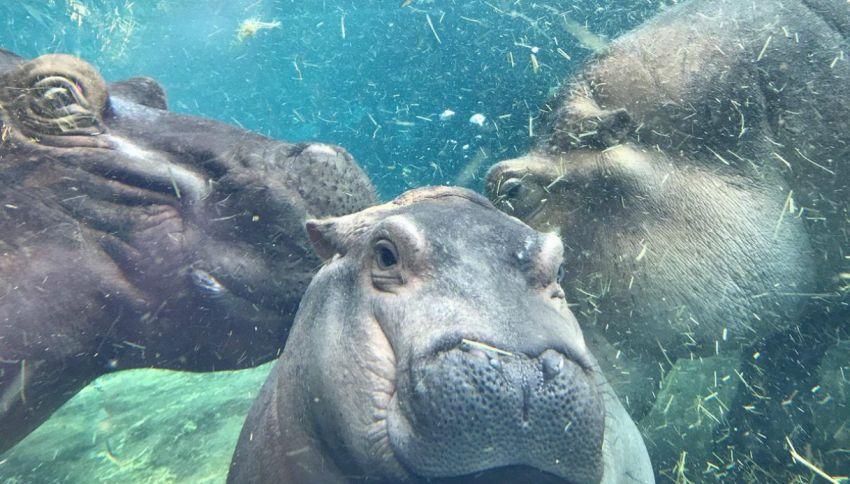 Il baby ippopotamo Fiona incontra i genitori per la prima volta