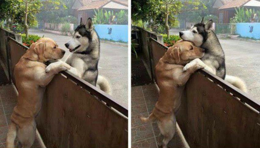 L'abbraccio fra il labrador e l'husky commuove il web