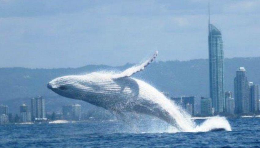 Avvistata Migaloo, la balena bianca più famosa al mondo