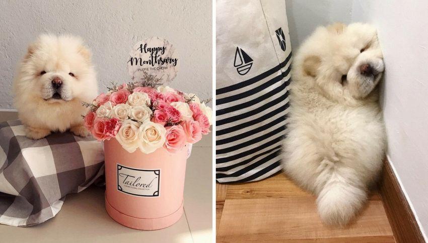 Il cucciolo Puffie the Chow è la nuova star di Instagram