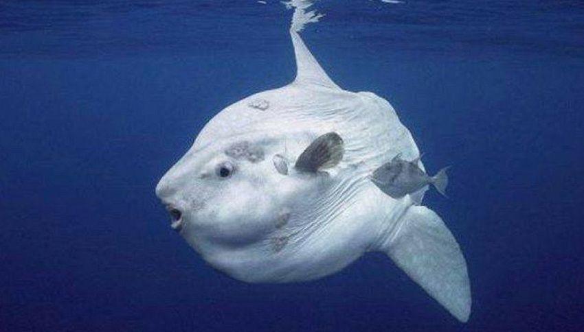 Mola tecta: il pesce luna che pesa più di una tonnellata