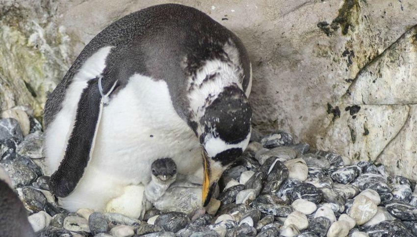 Acquario di Genova: nato il primo pulcino di pinguino papua