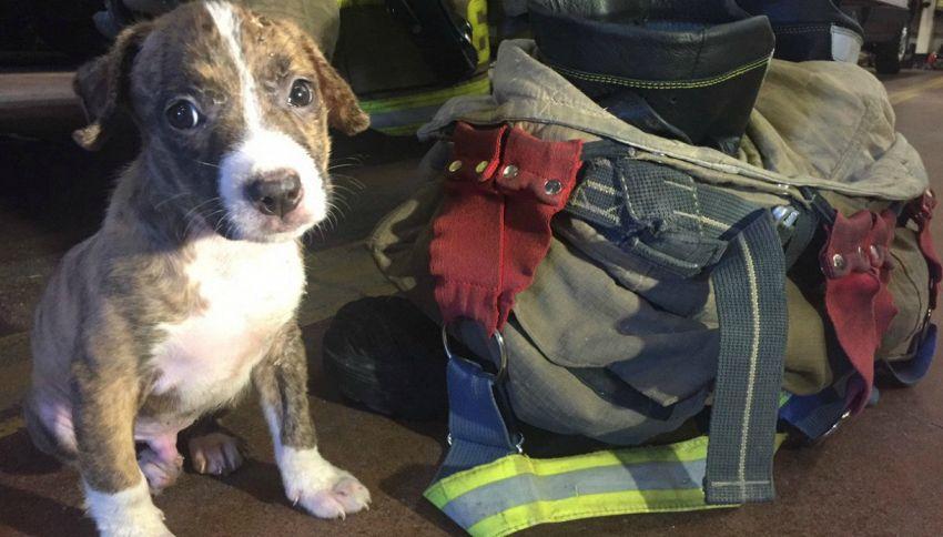 Il baby pitbull salvato dalle fiamme viene arruolato dai pompieri