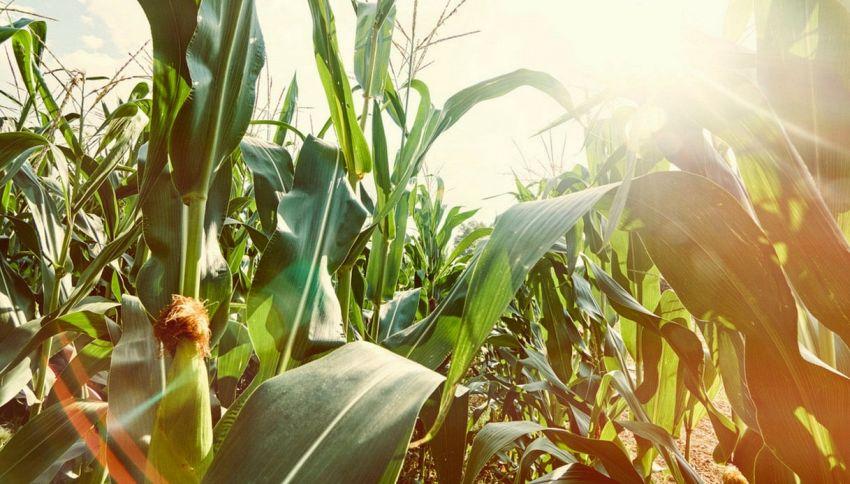 Fa troppo caldo e dalle pannocchie escono pop corn