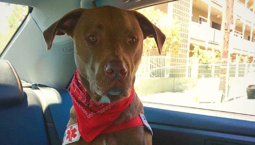 La storia di Colt, il cane che soccorre la padrona epilettica