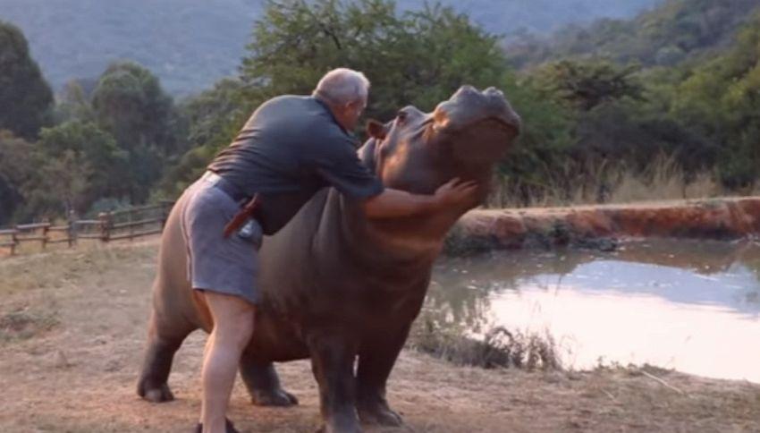 Lui l'ha salvata e l'ippopotamo lo ringrazia così
