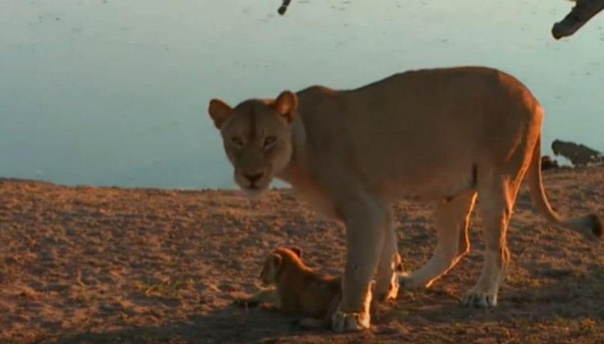 Mamma leonessa alle prese con il cucciolo che vuole fare il bagno