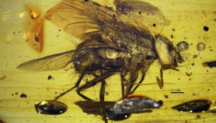 Scoperta nell'ambra la mosca più antica del mondo