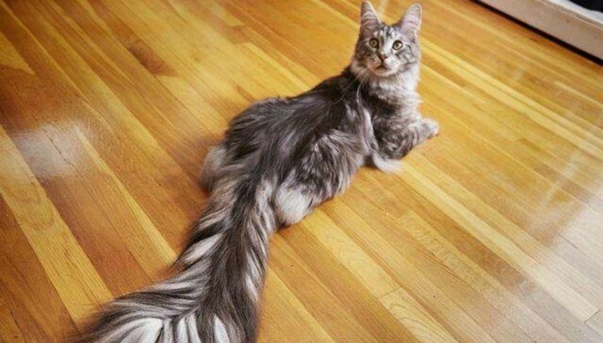 Cygnus: il gatto con la coda più lunga del mondo