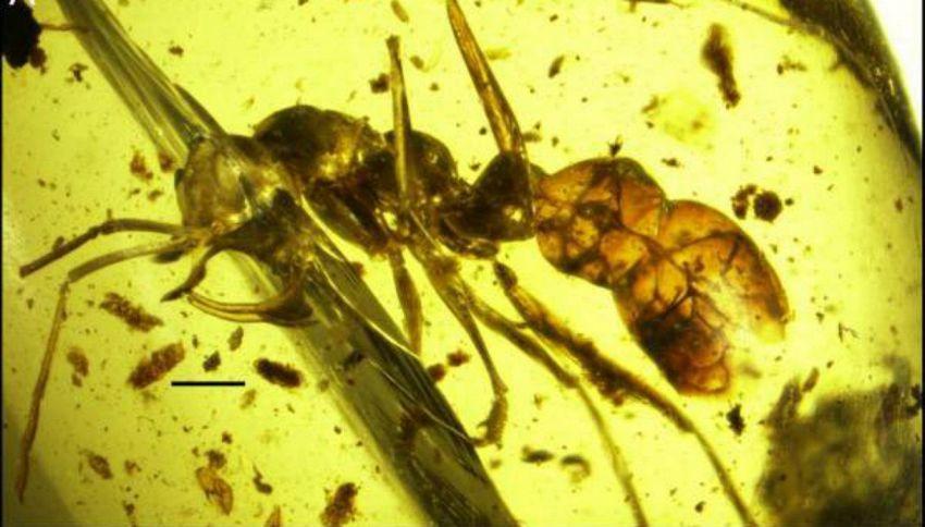 Vladi, la terribile formica vampiro ritrovata nell'ambra