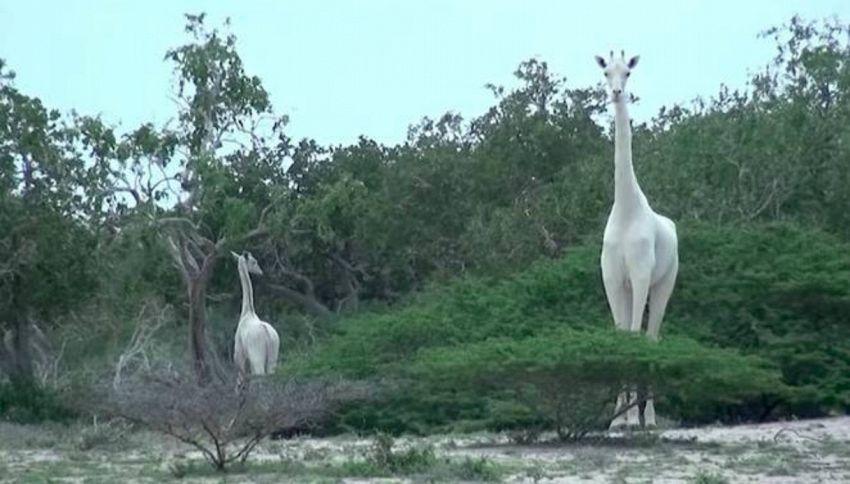 Scoperte in Kenya le giraffe bianche