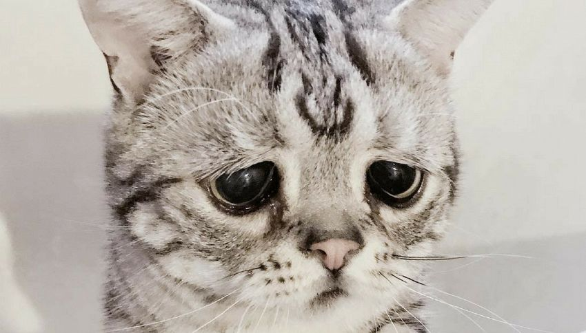 Luhu, la gattina più triste del mondo con 160mila follower