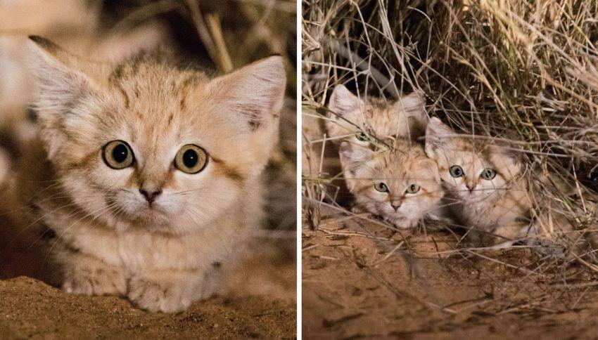 Fotografati per la prima volta i rarissimi gatti delle sabbie