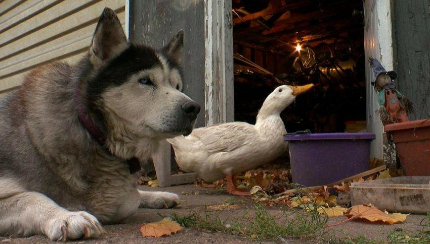 L'amicizia improbabile fra un cane e una papera
