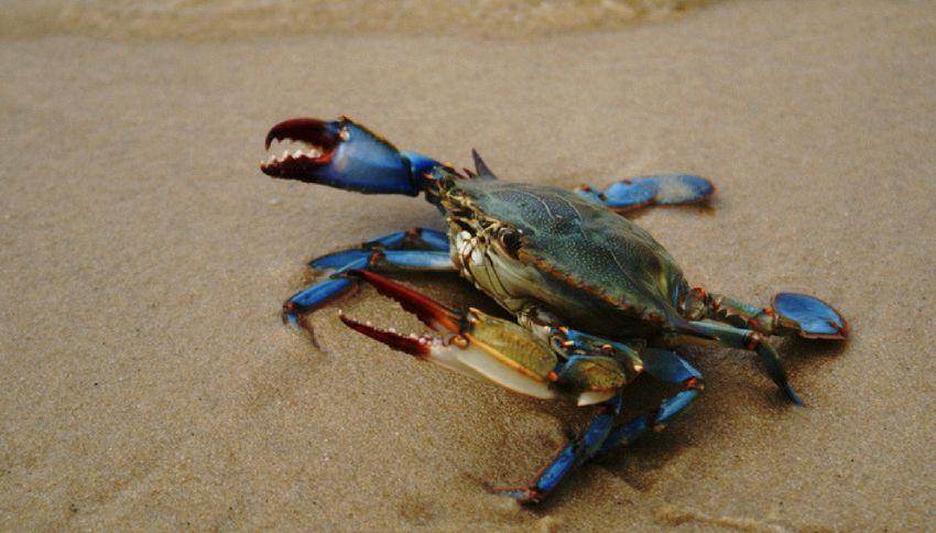 """I granchi """"alieni"""" blu invadono il Mediterraneo"""