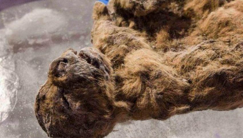 Scienziati vogliono clonare un leone fossilizzato di 50 mila anni