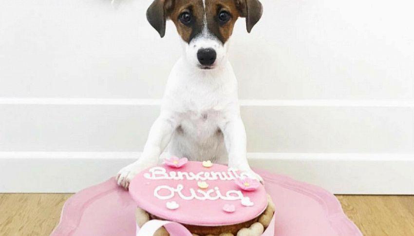 Arriva la pasticceria per cani, fra i dolci candoro e canettone