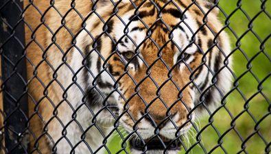 La tigre fugge dal circo: panico in città