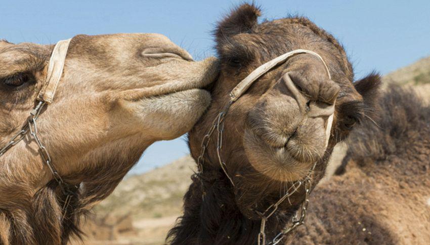 """""""Troppo botox"""": cammelli squalificati al concorso di bellezza"""