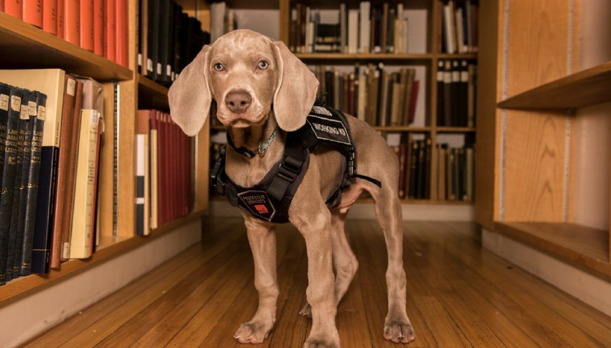 Il museo di Boston assume un cane: ecco perché