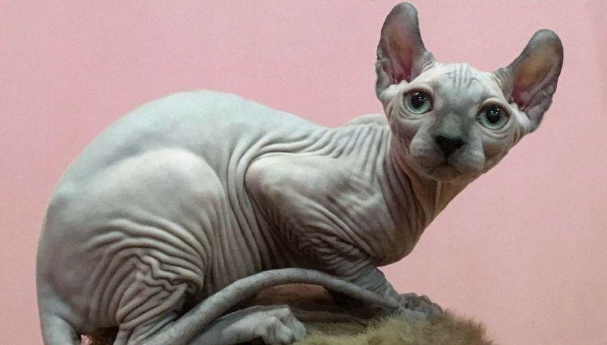 Vi presentiamo il gatto elfo