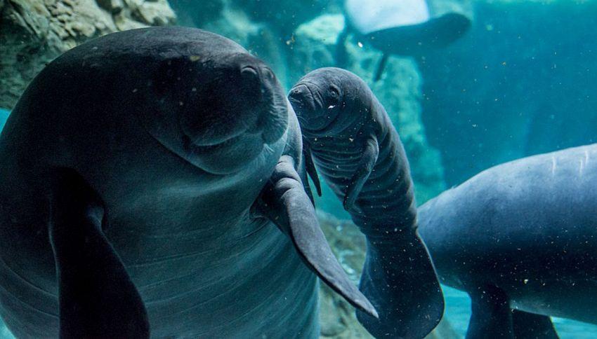 L'acquario di Genova è in festa: è nato un cucciolo di lamantino