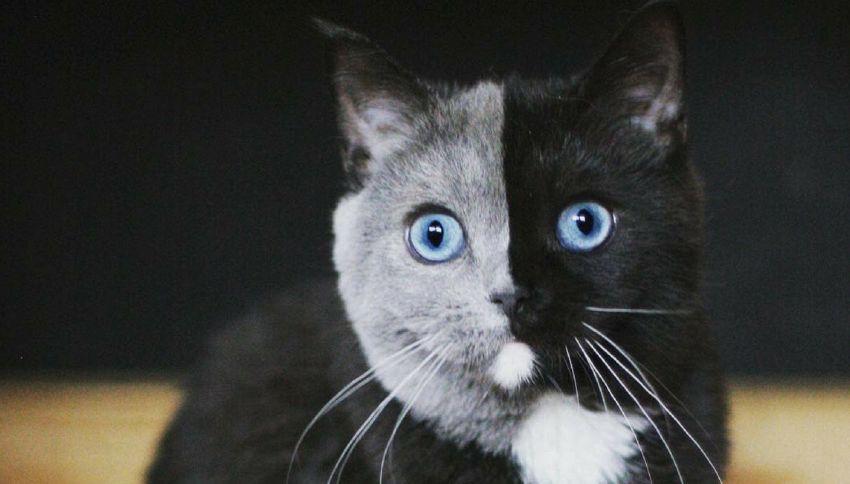 Narnia: il gatto chimera a due facce che spopola sul web