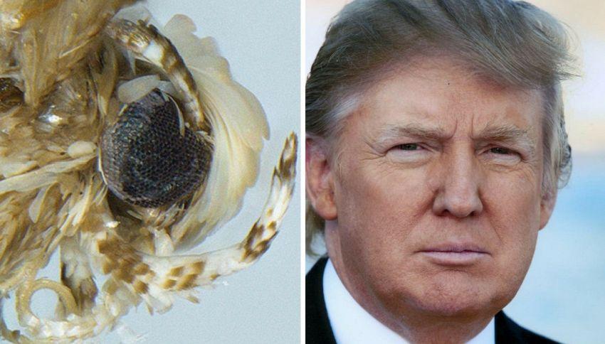 "Scoperta una falena bionda: è stata chiamata ""donaldtrumpi"""