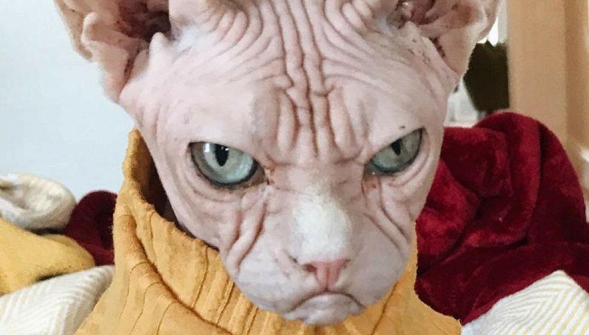 """Loki, il gatto che sembra un personaggio di """"Dragon Ball"""""""