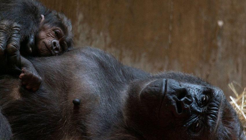 È nato Moke, il cucciolo di gorilla dello zoo di Washington