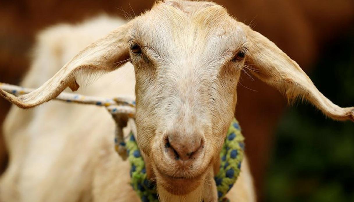 Mondiali in Russia, la capra Zabiyaka è l'erede del polpo Paul