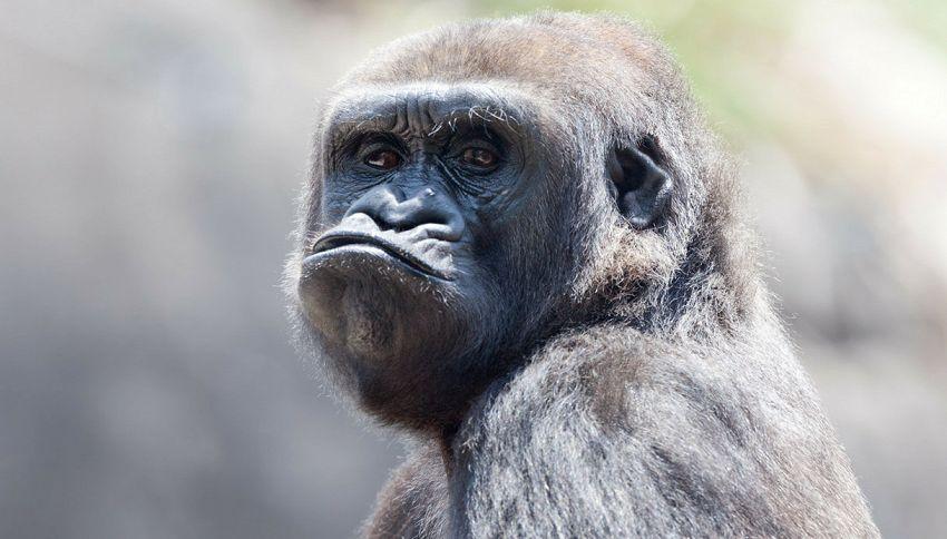 Le scimmie non dormirebbero nel tuo letto: è troppo sporco