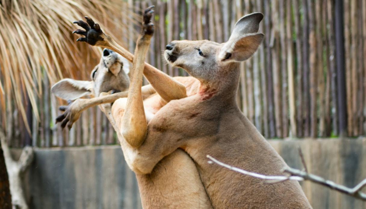 Gli animali che potrebbero fare concorrenza a Muhammad Ali