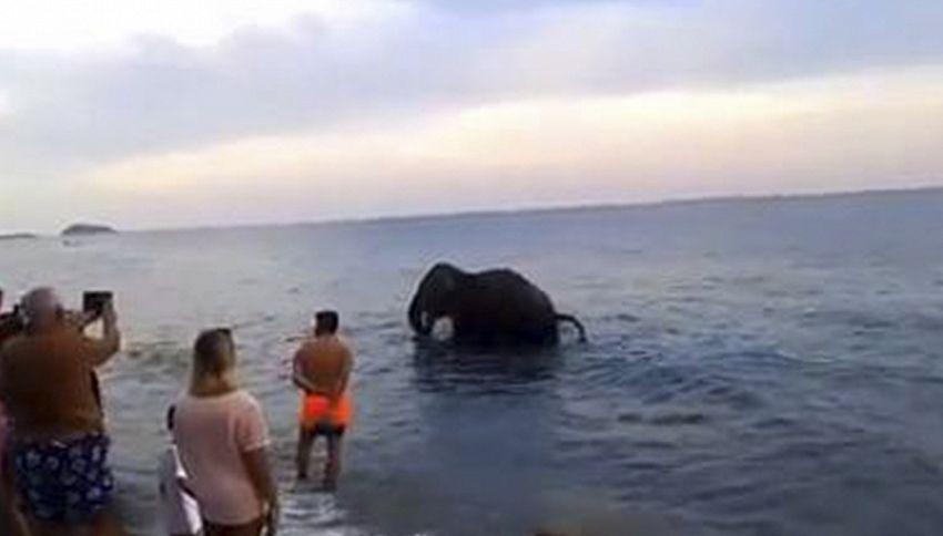 Elefante in mare, lo spettacolo che (forse) non avete visto
