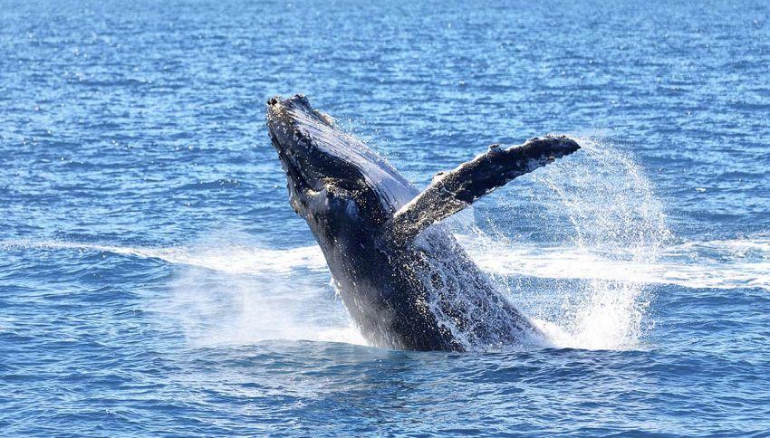 La danza delle balenottere del Golfo di Napoli. Uno spettacolo!