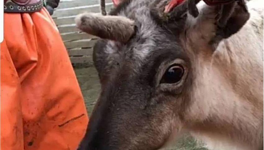 La renna unicorno diventa una star in Norvegia