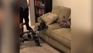 Il cane terrorizzato dal cuscino a forma di gatto