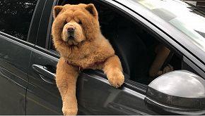Nessuno ha capito se questo sia un cane o un peluche