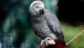 Ecco a voi Rocco, il pappagallo che ordina le patatine con Amazon