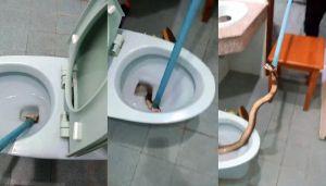 Va in bagno e ci trova un cobra reale