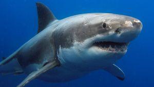 Incontro da paura con lo squalo bianco più grande al mondo
