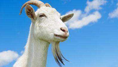 E tu cosa aspetti a provare lo yoga della capra?