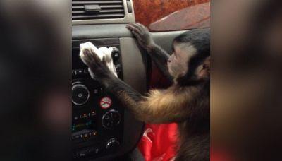 Sasha, la scimmietta che ama specchiarsi in auto