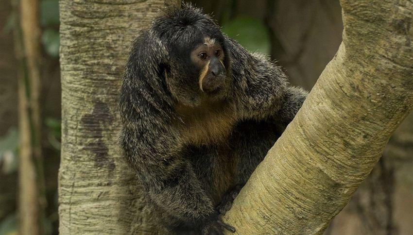 Non importa se fai palestra, questa scimmia ti farà vergognare